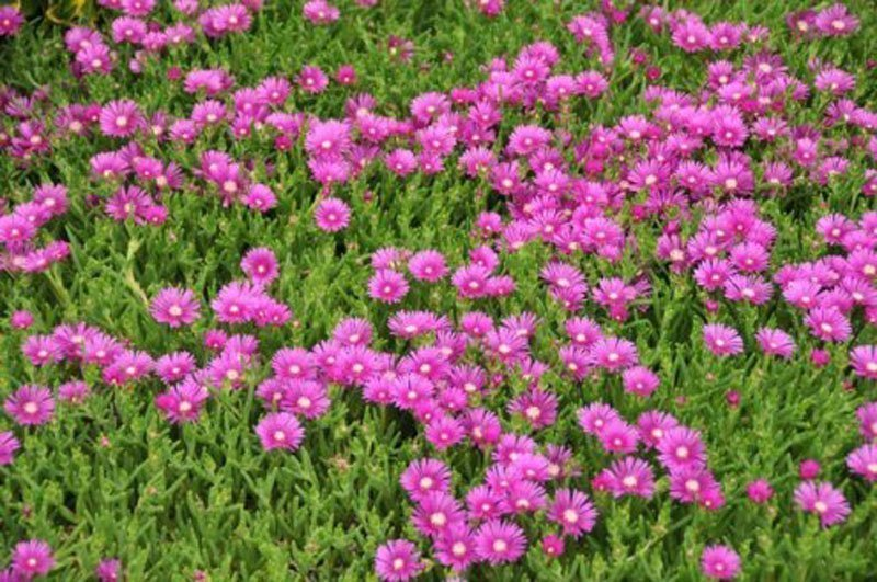 Closeup view of pink blooms and bright green foliage in a patch.