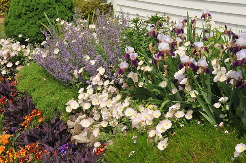 Iris shown in flowerbed with a variety of other flowers and greenery.