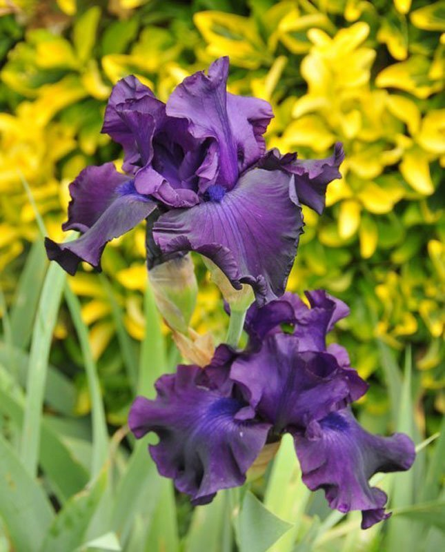 Ruffled rich purple blooms.