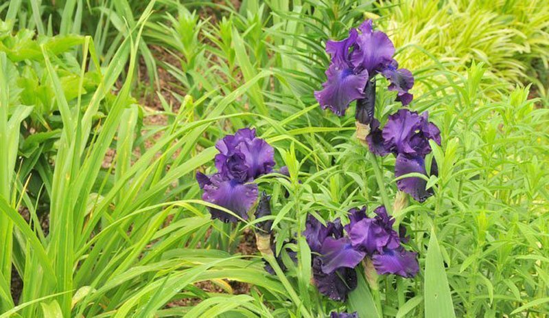 Dark purple blooms surrounded by green foliage.