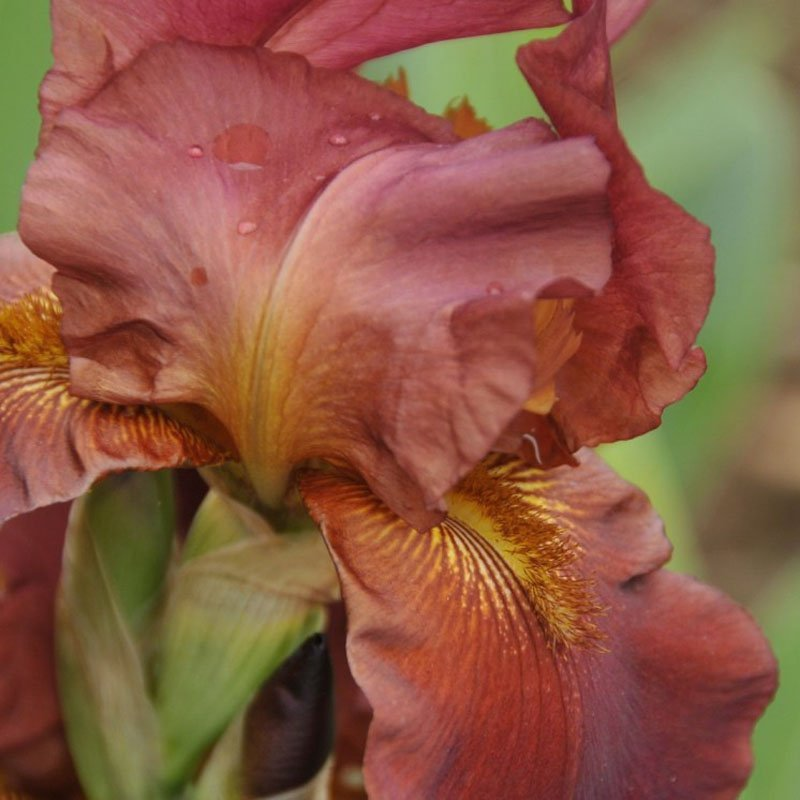 Rusty red, ruffled petals on a bloom.