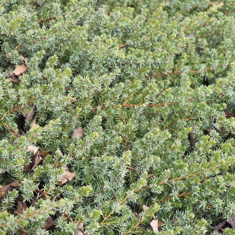 Closeup of light green foliage needles.