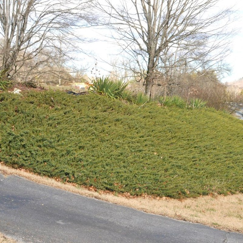 Mature, dark green plants covering bank by driveway.