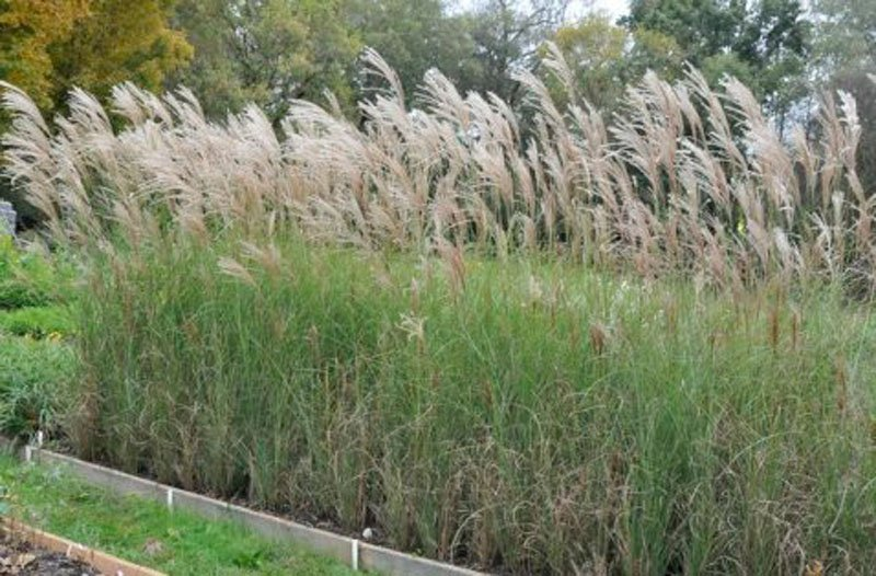 Grass in flowerbed with long, fluffy brown seed heads.