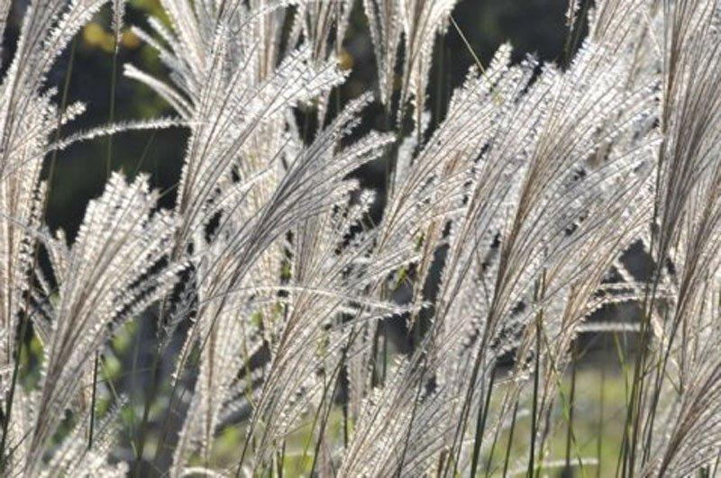 Fluffy, long wispy heads of grass seed heads.