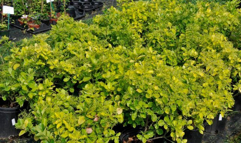 Yellowish green leaves on shrubs in black pots.