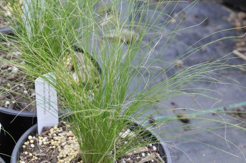 Small, wispy grass plant in flower pot.