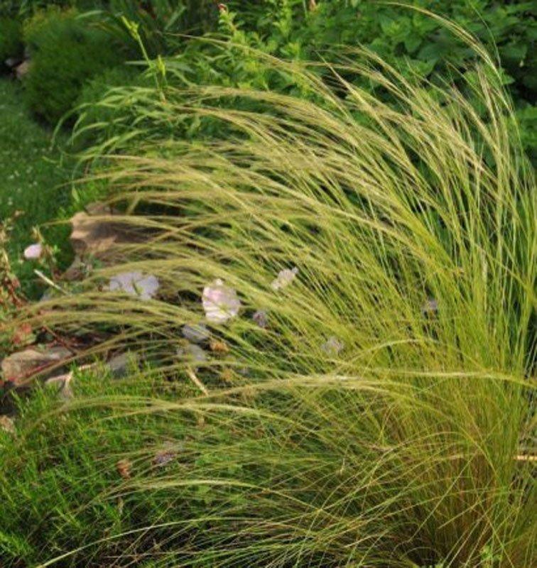 Wispy, yellowish green grass.