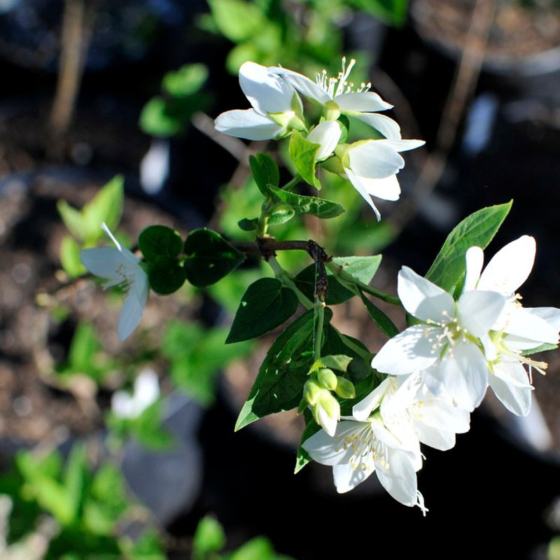 Pure white blooms with small delicate green leaves.