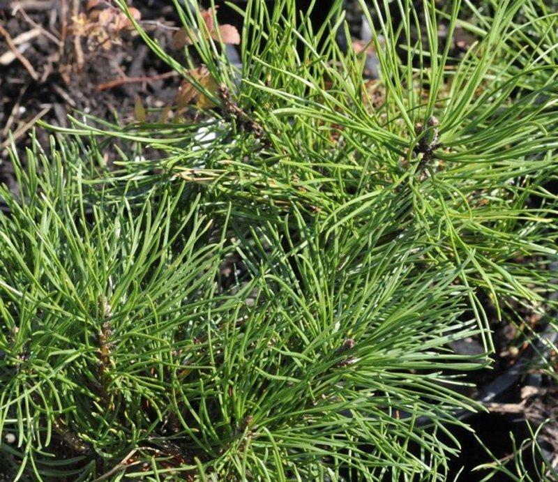 Long, green needles on stems like a miniature pine.