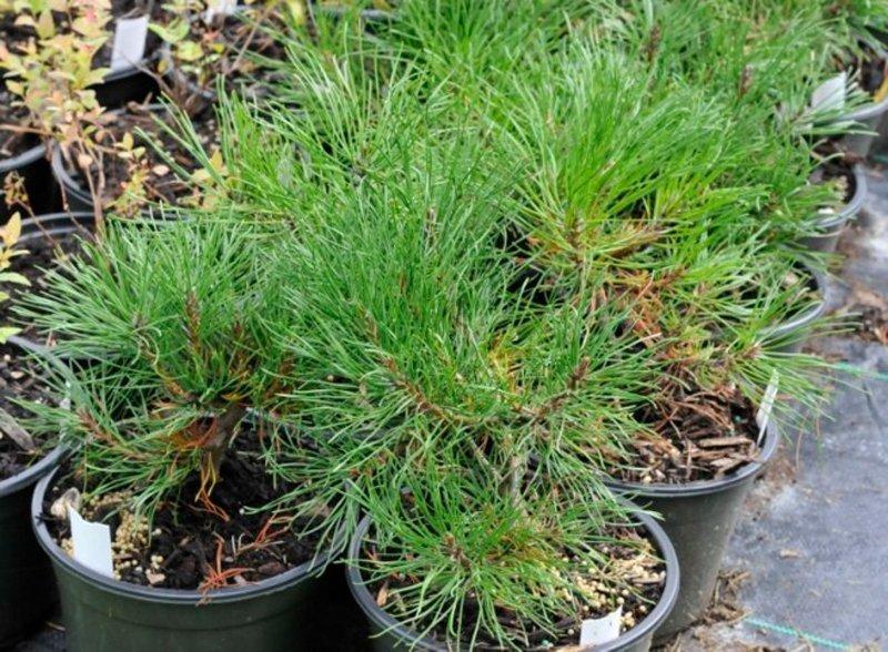 Pine shrubs in black pots.