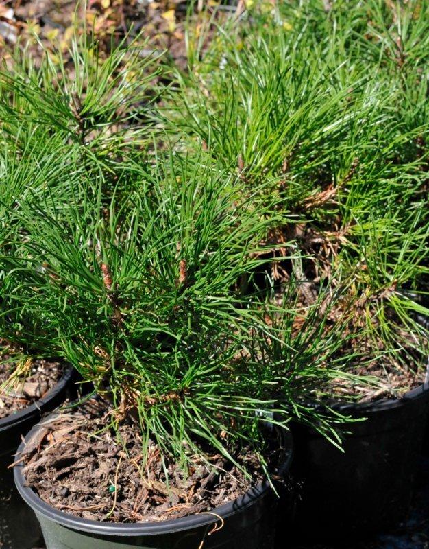Dark and light green pine needles on shrubs in black pots.