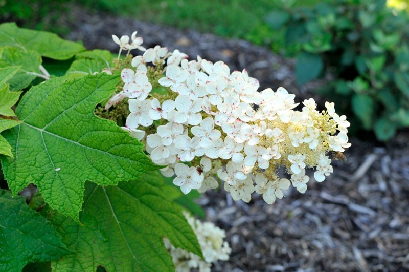 Cluster of small white blooms with honey bee.