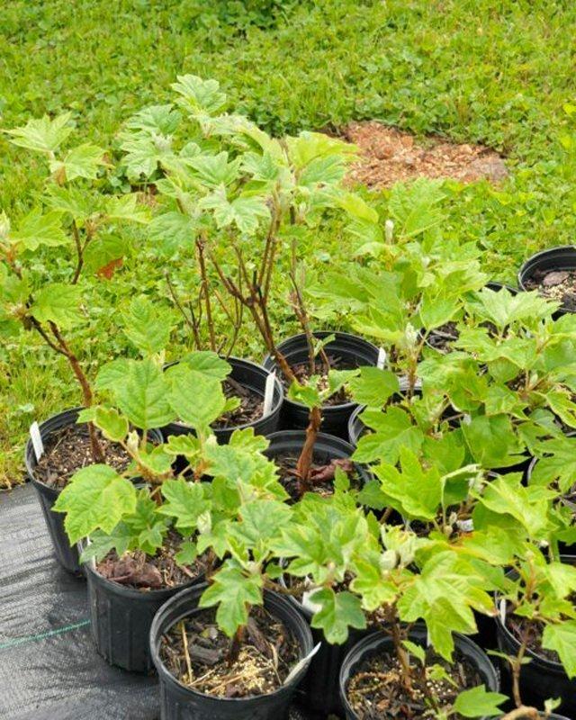 Light green leaves on shrubs in black pots.