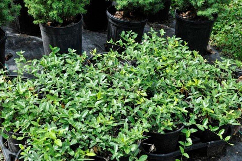 Dark green plants in flower pots.