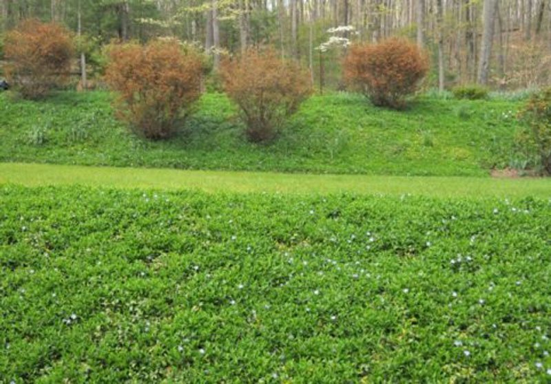 Terraced landscape with banks covered in Periwinkle.
