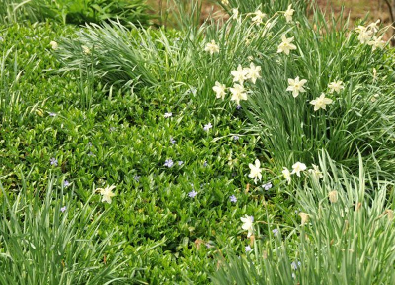 Periwinkle interspersed with white blooming Daffodils.