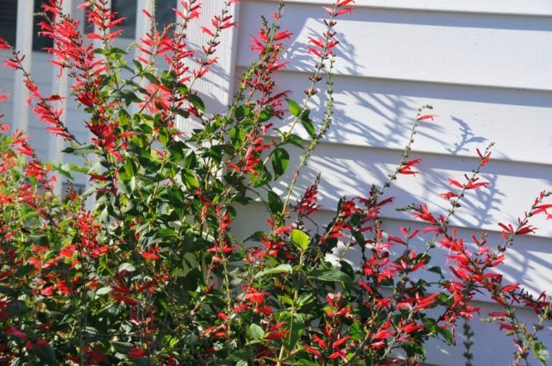 Red blooms along white siding of house.