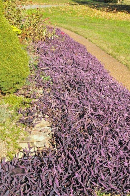 Many purple leaved plants along sidewalk.