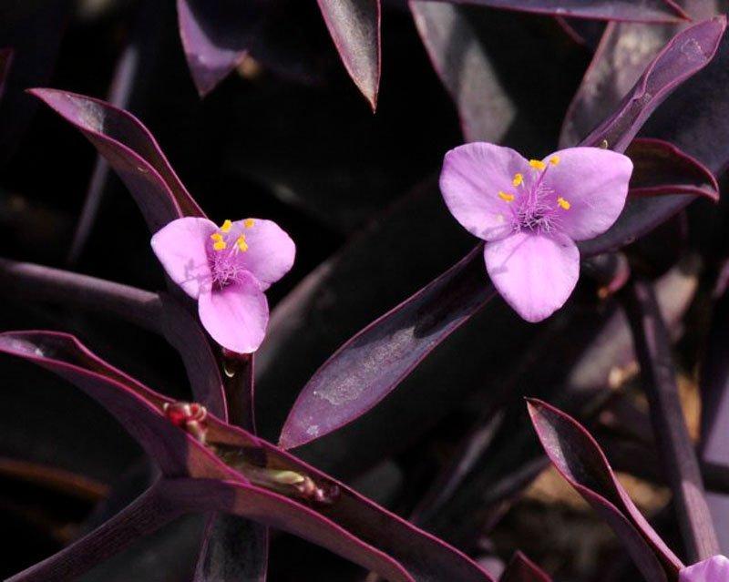 Tri petal light purple petals with purple leaves.