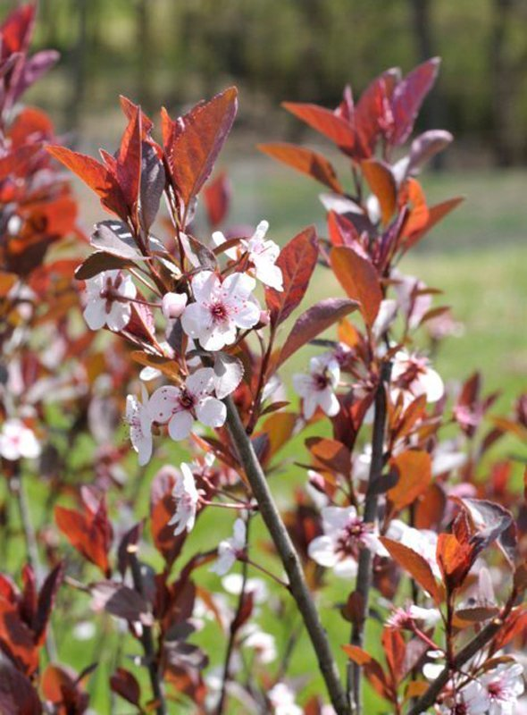 Red leaves with small delicate white flowers.