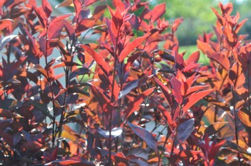 Closeup of dark red leaves in sunlight.