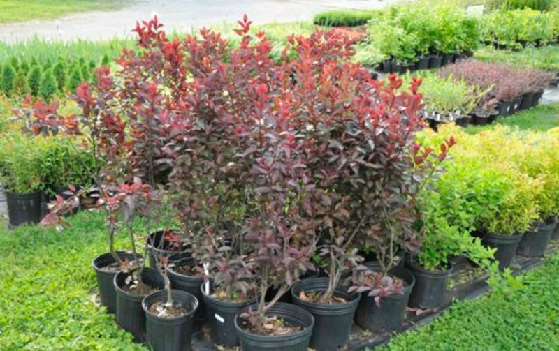 Grouping of red leaves on bushes in black pots.