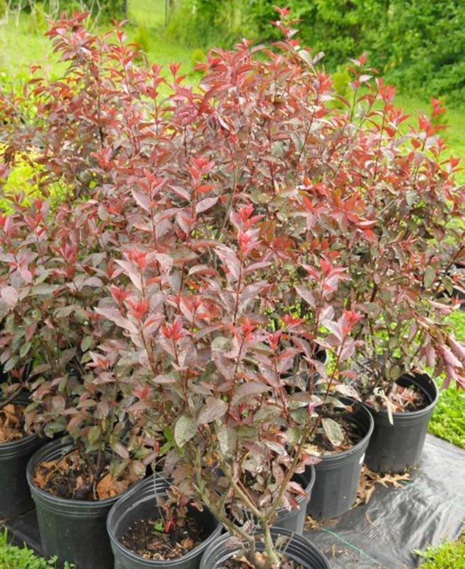 Red leaves on shrubs in black pots.