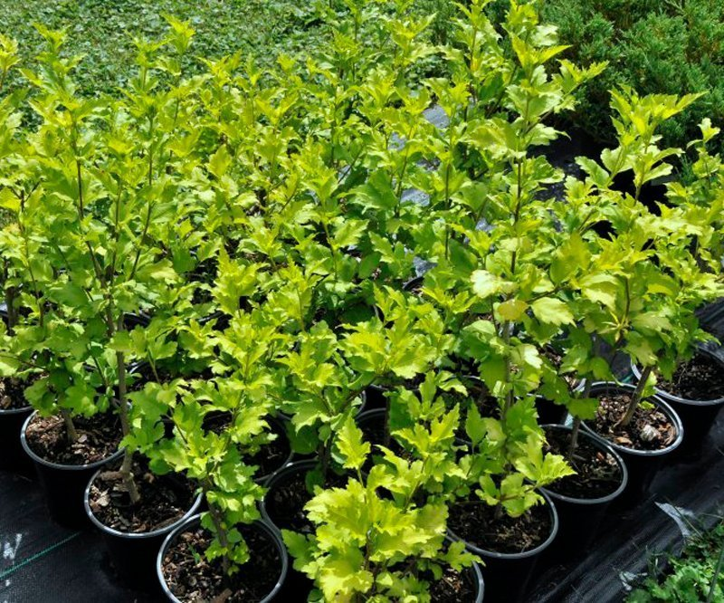 Light green foliage of bushes planted in black pots.