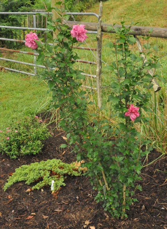 Tall bush with green leaves and large pink blooms in flowerbed.