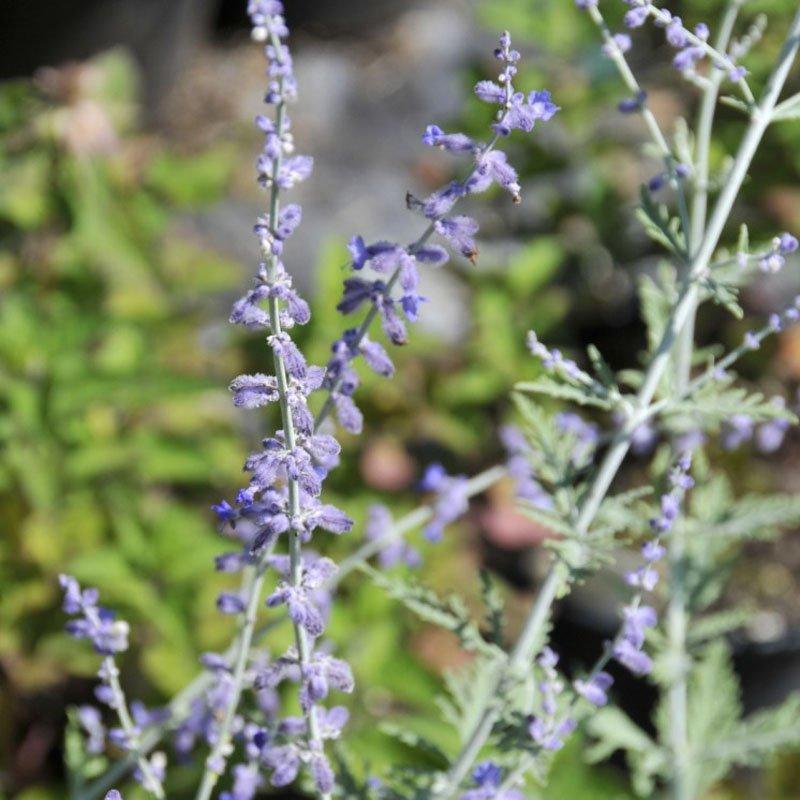 Light blue purple blooms on greenish grey stems.
