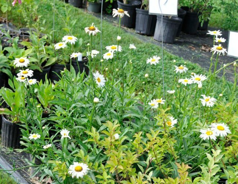 White blooms with yellow centers on green plants in pots.