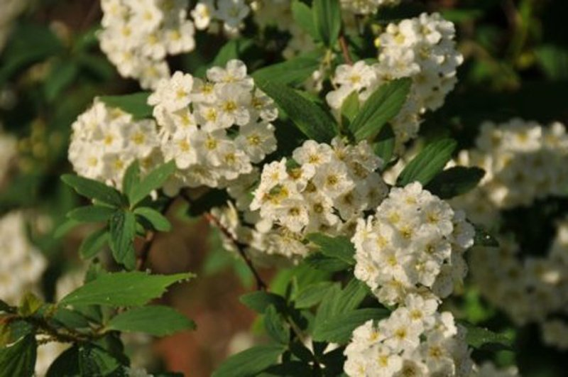 Clusters of white blossoms with slight yellow center surrounded by green leaves.