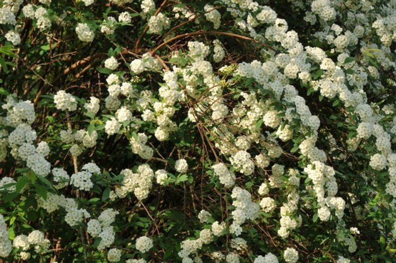 Closeup of stems covered with white blossoms.