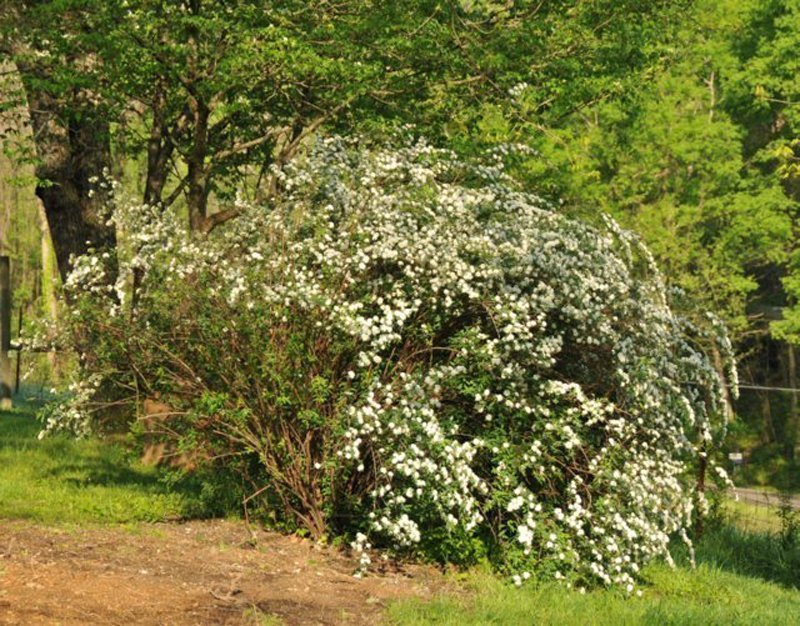 Mature bush in yard covered with white blossoms.