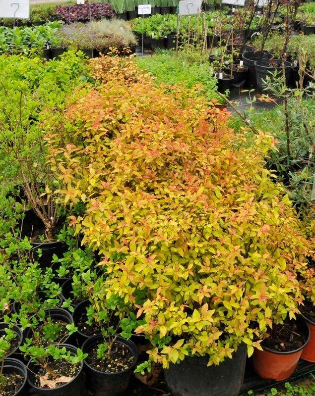 Fiery orange leaves of bushes in black flower pots.