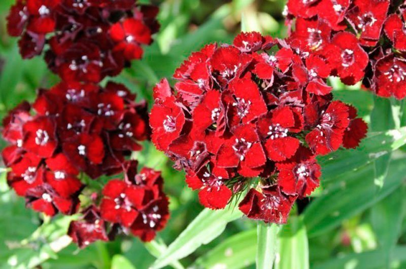 Small brilliant red flower clumps on stems.