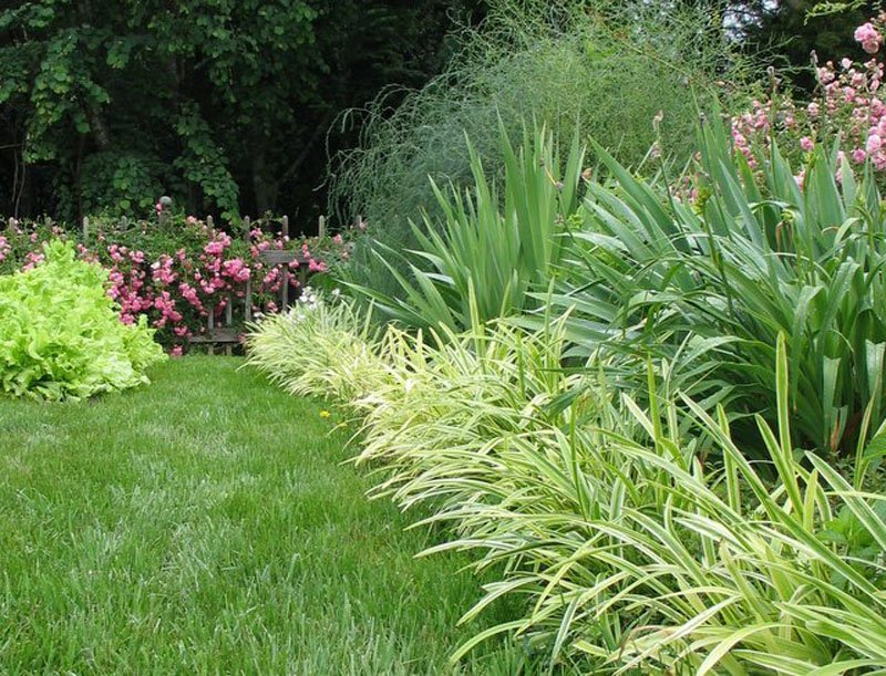 Liriope plants as border between garden and grass.