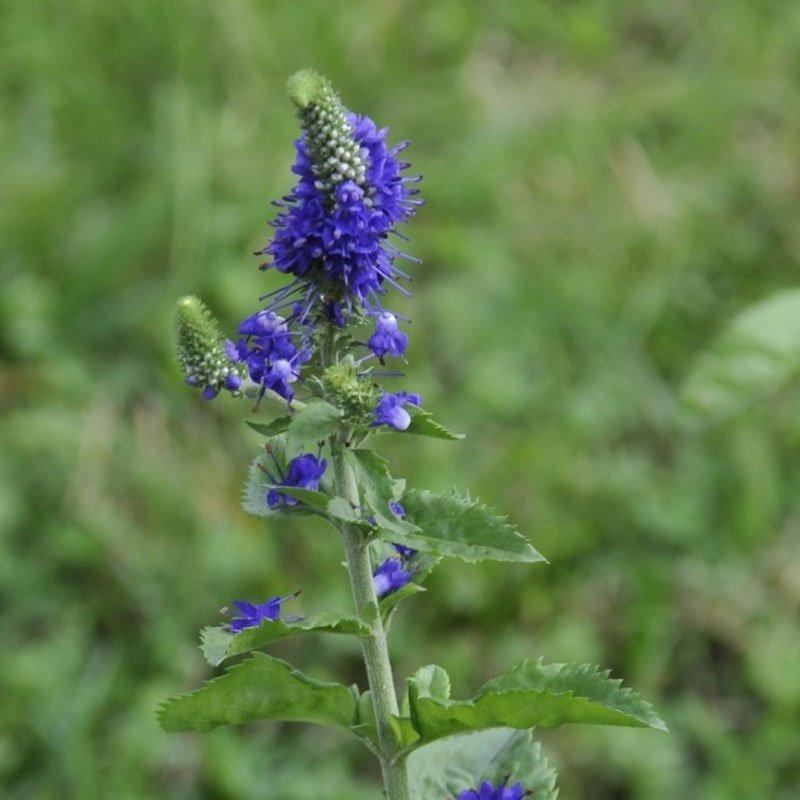 Stem with bluish purple bloom.