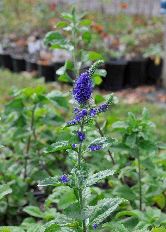 Green leafy stem with bluish purple blooms.