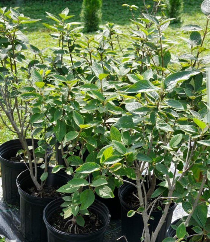 Beautiful green leaves on grey twigged bushes in black flowerpots.