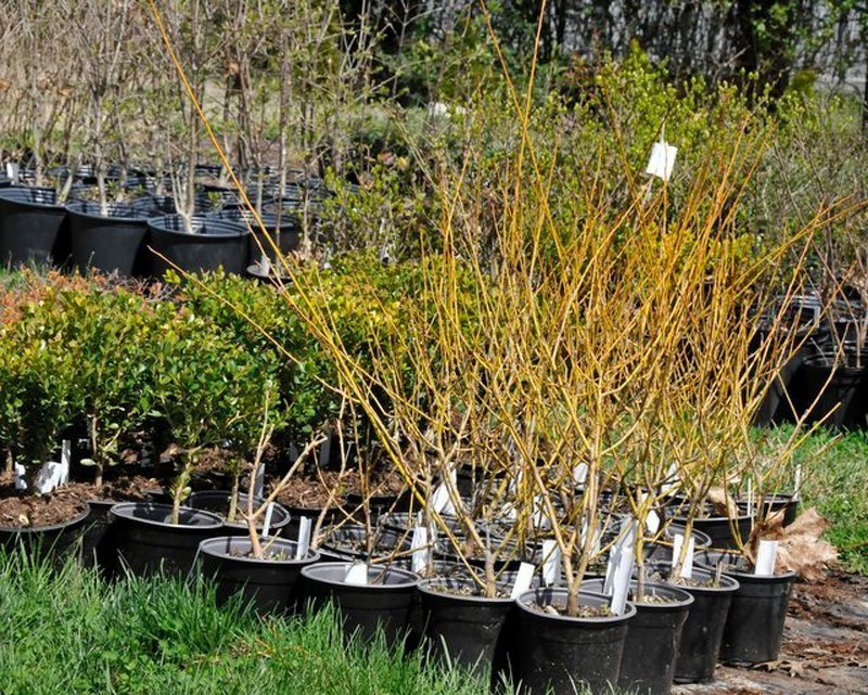 Yellow stemmed bushes in black pots with white tags.