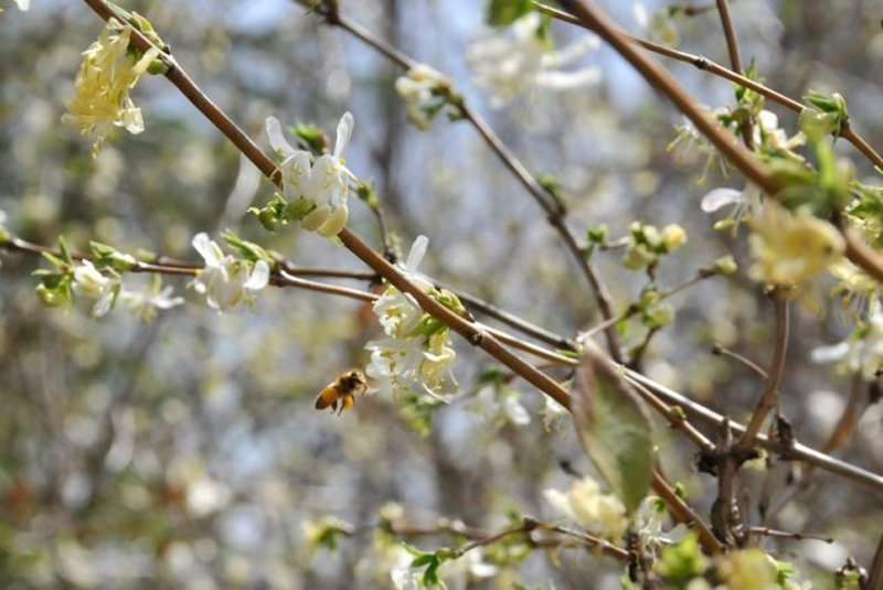 Honey bee taking nectar from white flower on brown stem.