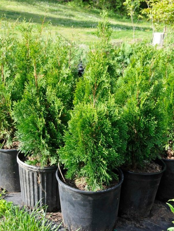 Green foliage of young trees in black pots.
