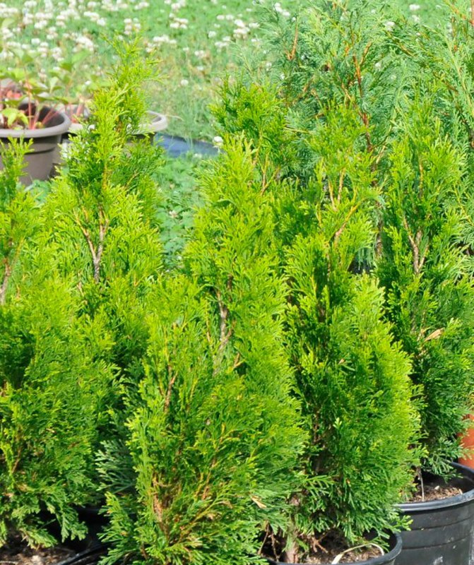 Light green foliage of young trees in black pots.