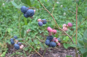 Blueberries on stem in varying stages of ripening.