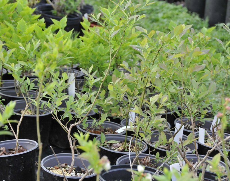 Young plants with green leaves in black pots.
