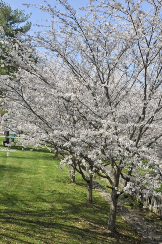 Row of white blooming trees.