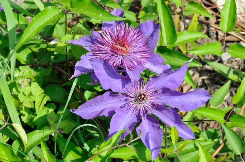 Two large purple blossoms surrounded by green leaves.
