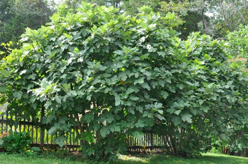 Mature fig trees covered with large green leaves.